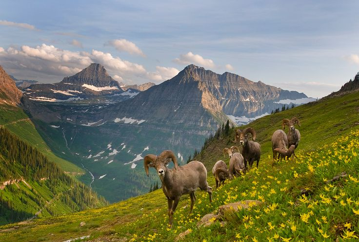 Haystack Butte, MontanaNorth America, Montana, Glacier National Parks, Beautiful, Photos Collage, Sheep, Places, Glacier Parks, Animal