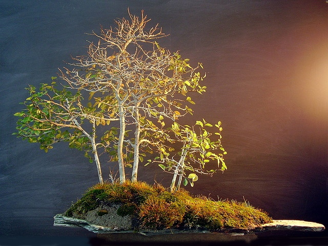 Bosque bonsai de olmo chino, creado a partir de esquejes.  #bonsai #gardening