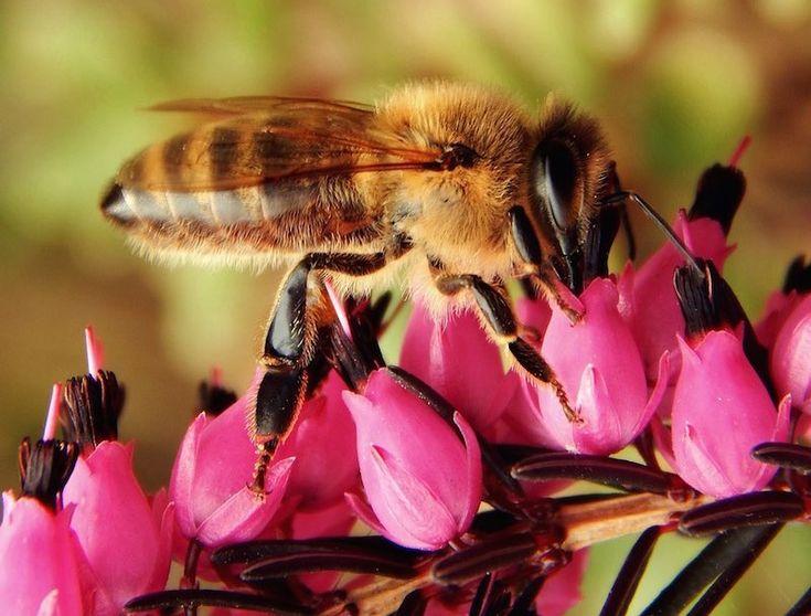 Einstein lo predijo: Si las abejas desaparecieran, sólo nos quedarían 4 años.