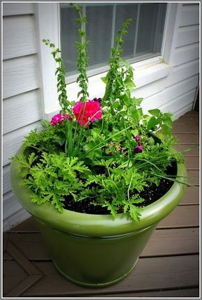 The anti-mosquito planter. The main anti-mosquito part of the plant is scented geranium, the lady at the nursery said they're the same thing as Citronella plants. I think I believe her because they smell just like an all natural Citronella candle. Also in the pot are Oregano, Catnip, Garlic and Chives.