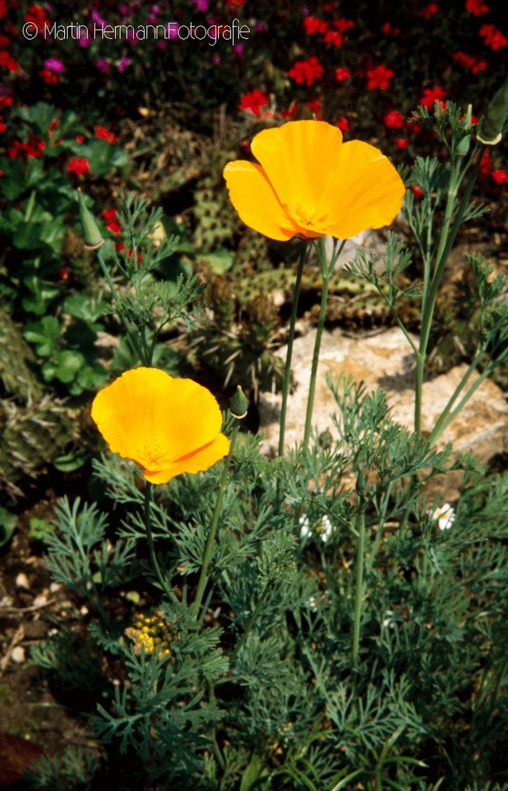 Kalifornischer-Mohn-(Steingarten-Dettingen-Juni-1990)