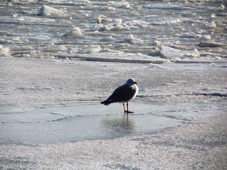 Mewa - nieco samotnie wygrzewa się na resztach lodu...
