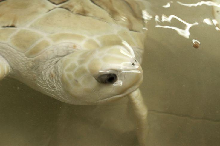 white sea turtle