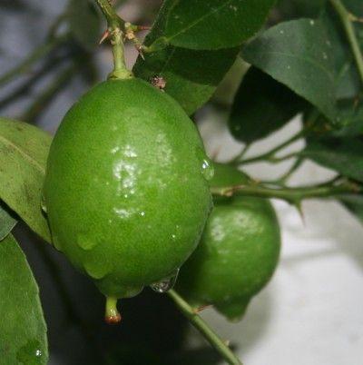 Árboles frutales de crecimiento rápido 4
