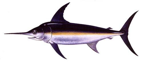 Swordfish - swordfish have pectoral fins that extend below its body, whereas a marlin's pectoral fins are small and barely visible.