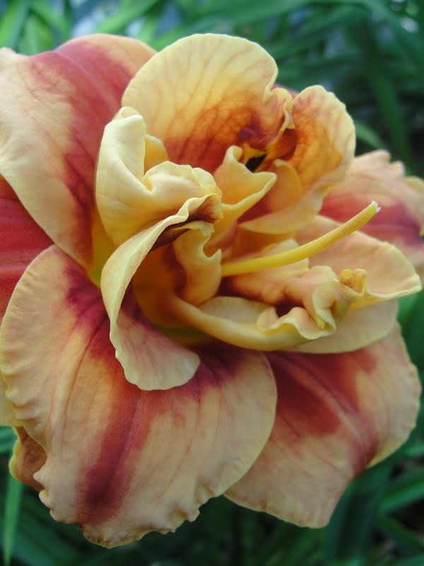 1293 best daylilies in my garden images on pinterest for Creative edge flowers