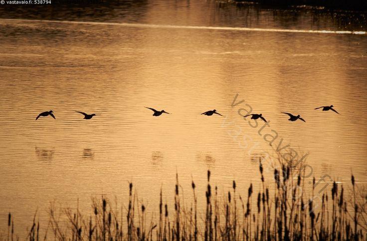 Sorsat aamulennolla - lennolla lintu aamulento luonto auringonnousu järvi lentävä järvimaisema vesi heijastus sorsalintu vedenpinta sorsa vesilintu maisema sorsat kullanhohtoinen