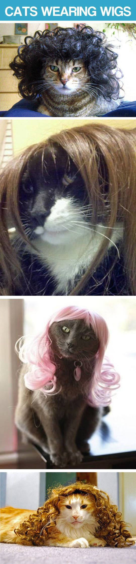 Cats wearing wigs…I think that one in the pink is going for the Katy Perry look. What do you think?