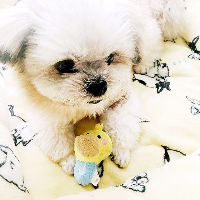 etsuyo40 : 春よはよこい!  #ポメラニアン#シーズー#シーポメ#ポメシー#ミックス犬#かわいい#いぬばか #毎日しあわせ#ぴよちゃん #はるよこい