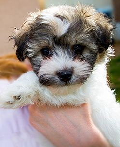 I've got it BAD for Havanese puppies. I know Hubs will eventually cave and get me another dog.