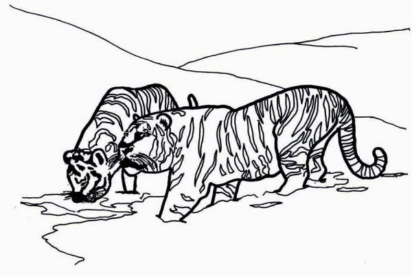 Tiger Two Siberian Tigers On Its Snowy Habitat Coloring Page