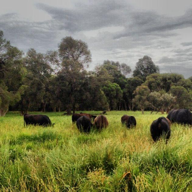 Gingin Beef Farm, Gingin WA.  100% Grass fed & finished beef. Dry aged a minimum 21 days! www.ginginbeef.com