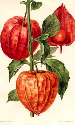 Chinese Lantern Plant. Date unknown.