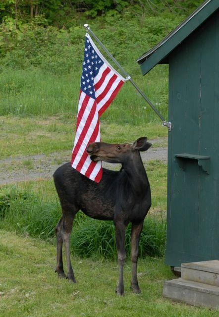 Flag waving moose                                                                                                                                                      More