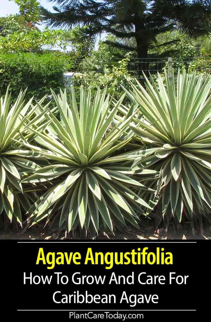 Agave Angustifolia Info How To Grow And Care For Caribbean Agave