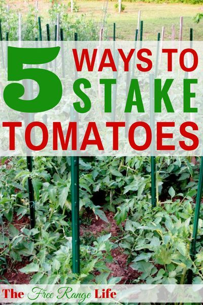 Learn 5 different ways to stake tomatoes to keep them off the ground, healthy and full of tomatoes!