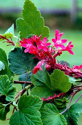 Ribes sanguineum 'Pulborough Scarlet'. Deciduous shrub to 4m tall. 'Pulborough Scarlet' has bright pink flowers in spring, a variegated cultivar is also available. 'Brocklebankii' is smaller, with golden foliage.