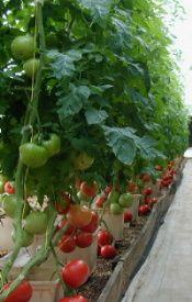 die besten 25 hydroponische tomaten ideen auf pinterest. Black Bedroom Furniture Sets. Home Design Ideas