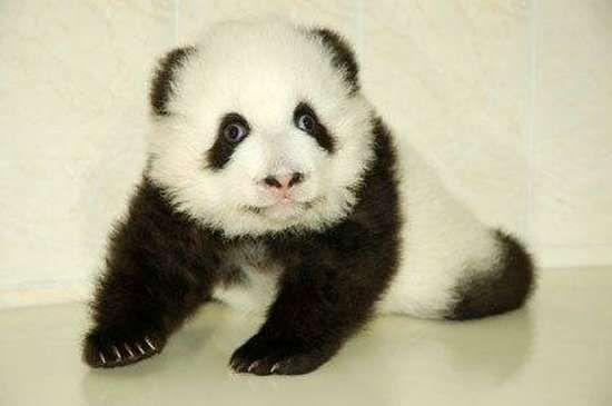 Małe pandy 11