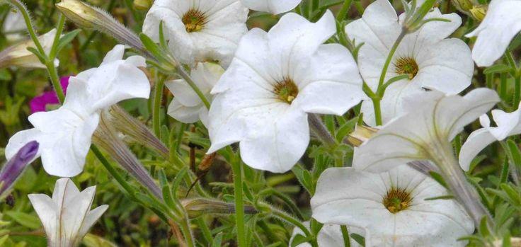petunia axillaire petunia axillaris Pétunia axillaire (Petunia axillaris)  Pourquoi avoir choisi de présenter cette espèce dans notre sélection 2015 alors que chaque année le marché horticole nord-américain est littéralement inondé de centaines de nouveaux cultivars de pétunias ? Hé bien ! Contrairement à la plupart des variétés modernes, le pétunia axillaire présente de grandes fleurs blanches qui émettent un parfum absolument capiteux qui charmera même les nez les plus congestionnés ! De…