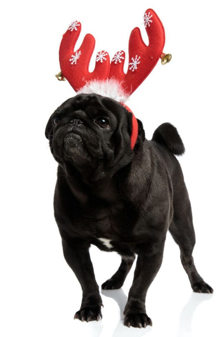 Concerned Black Pug Looking To The Side While Wearing A Red
