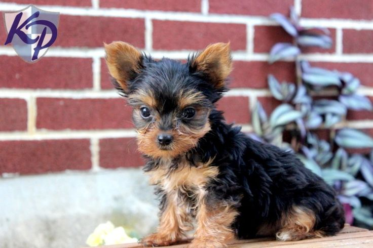 Tiny – Yorkshire Terrier Puppies for Sale in PA | Keystone Puppies