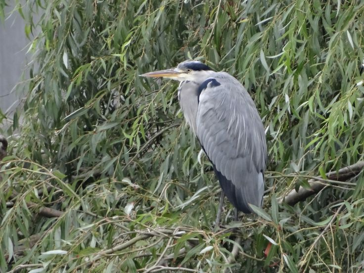 Grey heron / Gråhegre / Ardea cinerea. Copenhagen, Kastellet/Churchill-parken, Denmark, October 2nd 2014