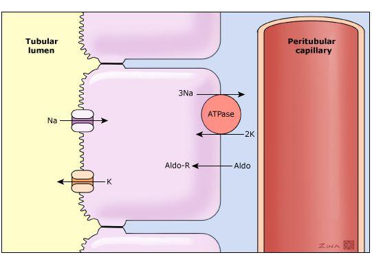 Na-K-ATPase幫浦把Na打向basolateral那一側,使cell內[Na]↓,腎小管內的Na就依濃度梯度往cell內跑,Na+進來,K+就因電荷平衡而排向腎小管內。 Aldosterone會促使open sodium channels(腎小管側),Na-K-ATPase pumps(血管測)增加,促使留鈉排鉀。