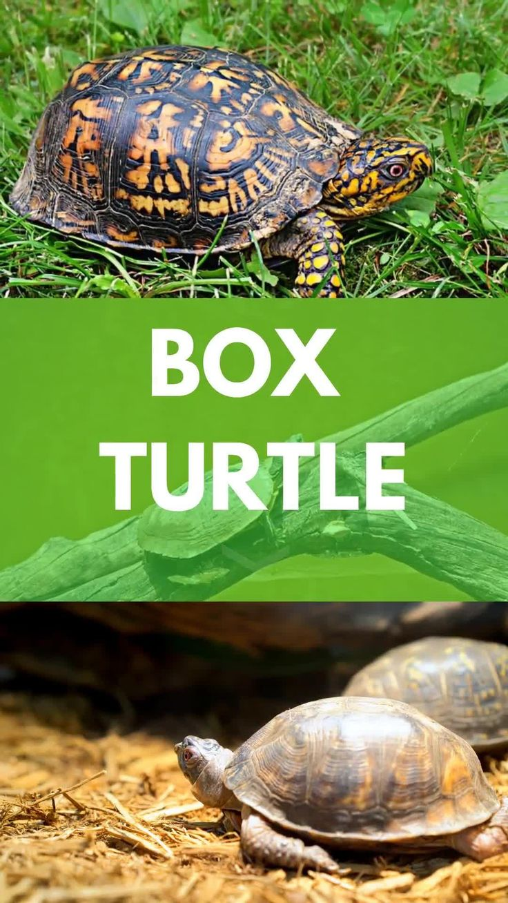 Box turtles as pets all helpful information in one place