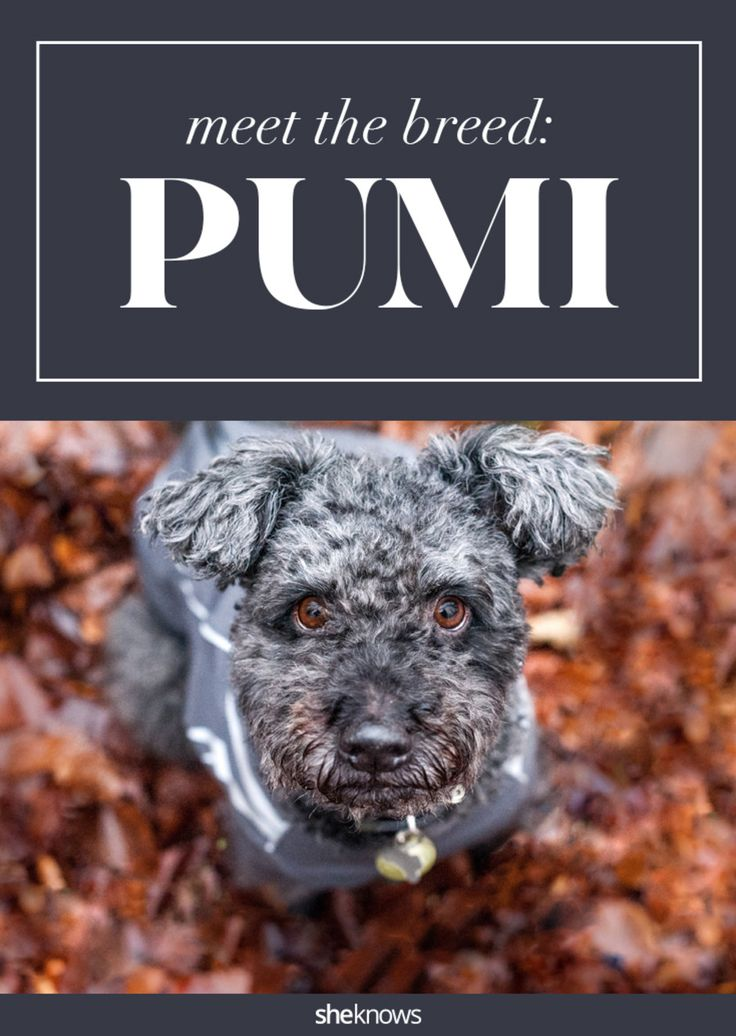 There is an official new dog breed that is all the cuteness of a bunny wrapped up into one irresistible pooch. It's called the Pumi, and it is taking the internet by storm.