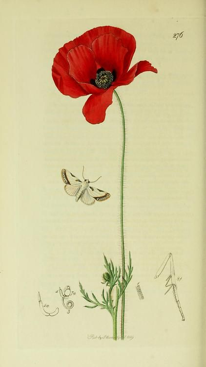 Acontia catena or Acontia nitidula (Brixton Beauty Moth) with a Field Poppy from British Entomology by John Curtis ( 1840's).  www.biodiversityl...  Wikimedia.