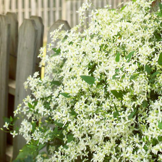 Sweet autumn clematis is sure to fill your entire garden with its sweet scent at summer's end: http://www.bhg.com/gardening/design/color/white-flower-garden-ideas/?socsrc=bhgpin052814sweetautumnclematis&page=8