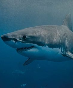 South Australia Great White Shark Cage Diving Adventure from Port Lincoln(Spectator)-Adelaide, Australia INR 19085.0 Duraion:  12 hours Activity Details: Come face to face with the ocean's ultimate predatory fish! Take a trip to the Neptune Islands to see the majestic Great White Sharks in their natural environment and be mesmerized by their size and grace.