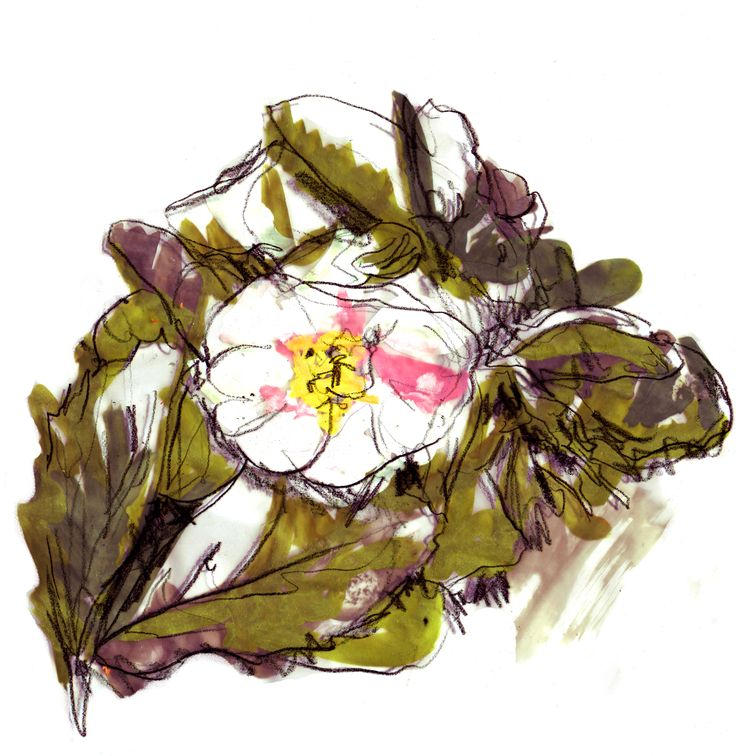 Heleborus Niger (Christmas Rose) - paining from Univ's gardens. Find out more at univ.ox.ac.uk