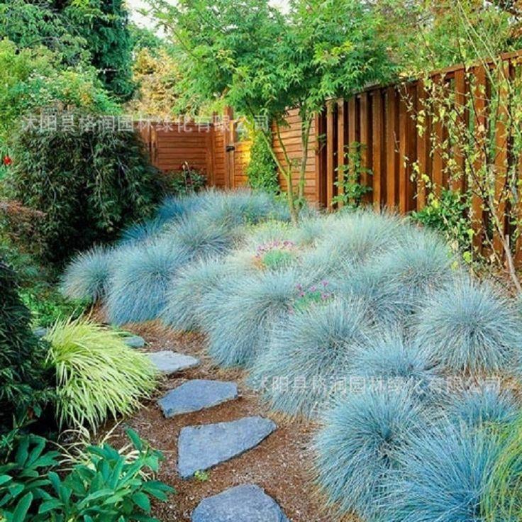 Blue Fescue Grass Seeds - (Festuca glauca) perennial hardy ornamental beautiful grass seeds for flower pot planters 100pcs