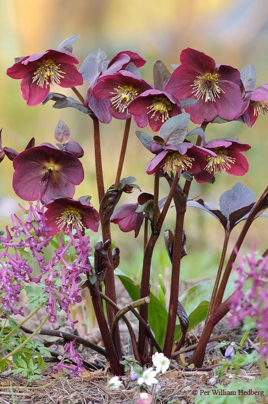 Photo of Hellebore (Helleborus x hybridus Frostkiss™ Anna's Red) uploaded by William