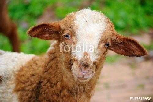 Simpatico agnellino