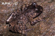 Hochstetter's frog, side view