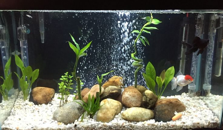 30 gallon aquarium setup for two fancy goldfish - Black Moor and Red Cap Oranda. Real rocks from a stream, and live plants. Natural, peaceful, zen.