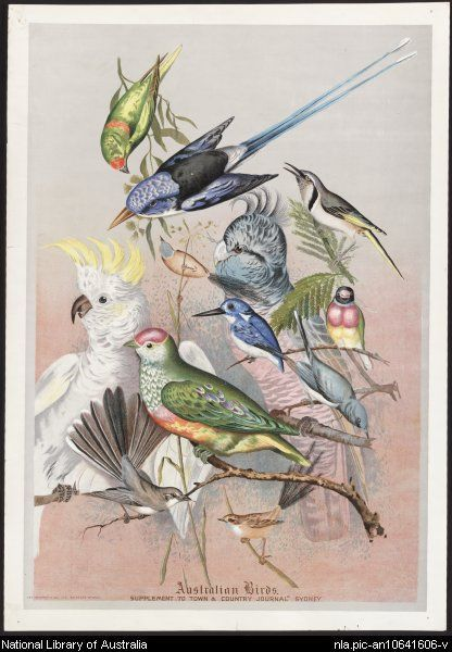 Rowan, Ellis, 1848-1922.  Australian birds [picture]  Sydney : Town & Country Journal, [189-?] (Sydney : Geo. Murray & Co.) 1 print : chromolithograph ; 51.8 x 39.6 cm.  From National Library of Australia collection  http://nla.gov.au/nla.pic-an10641606  nla.pic-an10641606
