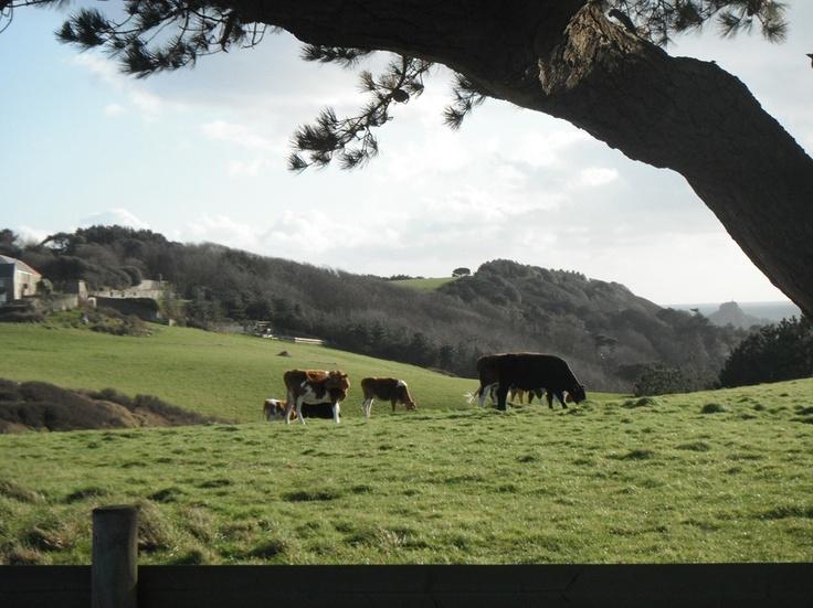 The herd in Monku field, Herm