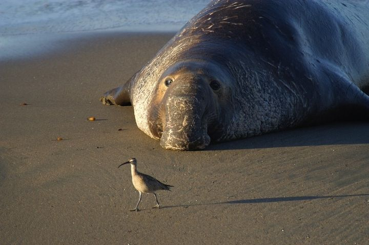 An elephant seal lounges on a beach in Monterey Bay, Calif. The seal and the shore bird live in the Monterey Bay National Marine Sanctuary.The Monterey Bay National Marine Sanctuary is one of only 13 marine sanctuaries in the U.S. From NOAA/flickr