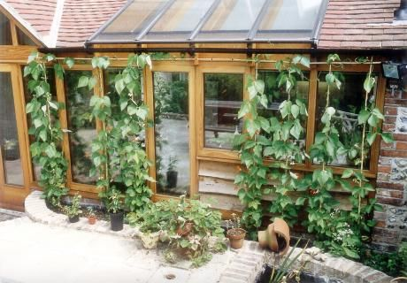 Beans instead of blinds shade the passive solar extension at the Harland's house - Using biological resources - an original permaculture principle