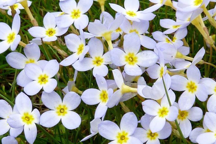 Mayflower Flower | www.imgkid.com - The Image Kid Has It!
