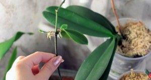 Moje rozkvetlá orchidej je mou pýchou! Prozradím vám moje triky, jak jednoduše a levně je můžete namnožit i vy
