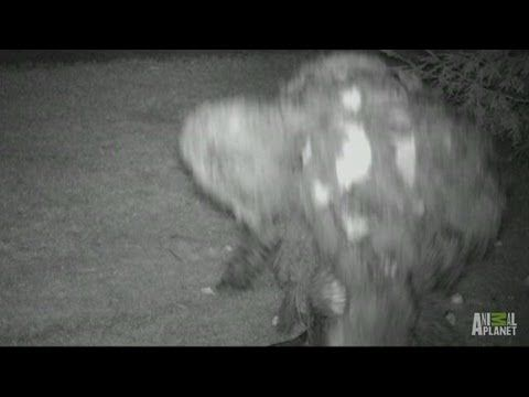 Mother Bigfoot with Baby? | Finding Bigfoot - YouTube
