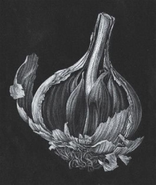 Line and Tonal Pencil Drawing for Botanical Observations