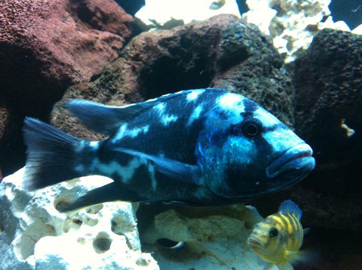 cichlid fish african cichlids malawi haplochromis lake malawi fish big ...