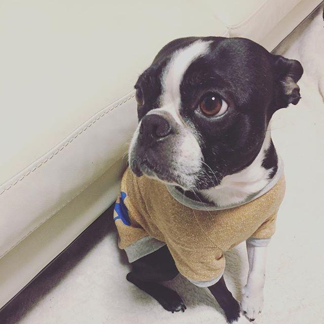 おはようございます🌞 今日は、またグンと寒い〜❄️😵 かーさんは、覚悟して洗濯物干しに行って来ます👚👕👖 ★ ★ ★#gm#buhi#bostonterrier #bostonterriergram #bostonterrierlife #bostonterrierlove #bostonterriersofinstagram #instadog#dog#doglover #pet#petsagram #cutedog#ボステリ#ボストンテリア#犬のいる暮らし#愛犬