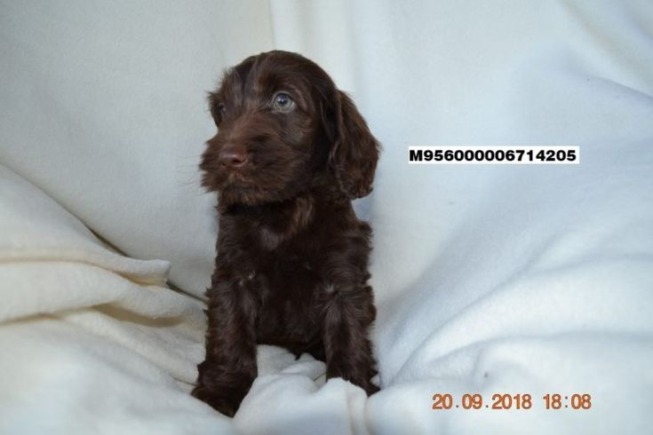 Bella Boo Rottweiler Mix Puppy For Sale Keystone Puppies Rottweiler Mix Puppies Rottweiler Mix Puppies